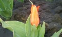 мой тюльпан