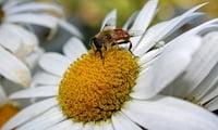Ромашка и пчела