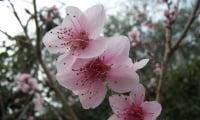 Цветы песрика