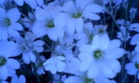 цветение ясколки