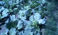 капустные грядки