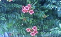 Цветущий кампсис