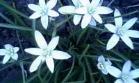 цветение птицемлечника