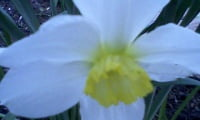цветет нарцисс