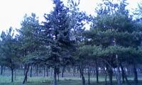 Родительские деревья моего дачного леса.