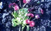 Цветение маргаритки