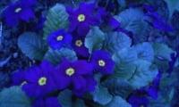цветение примулы