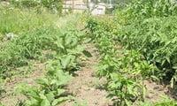 Растения под капельным поливом