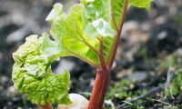 Первые листочки ревеня на весенних грядках