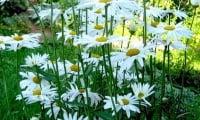 Ромашка садовая (нивяник)