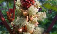 Цветущая клещевина