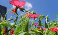 Цветущий лён