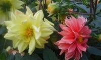 Цветок георгины