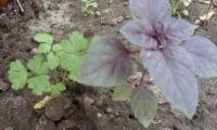 Базилик душистый (лат. Оcimum Basilicum L.)
