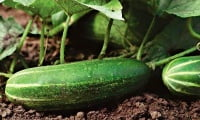 Soil and top dressing for cucumbers.jpg