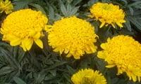 Бархатцы хризантемовидные