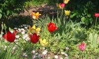 тюльпан – символ весны