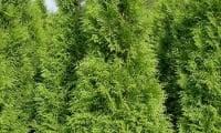 вечнозеленые красавицы