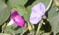 Цветы ипомеи