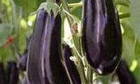 Овощ долголетия