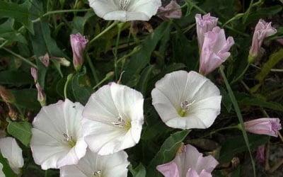 Неприхотливые вьюнки Выращивание и особенности Названия