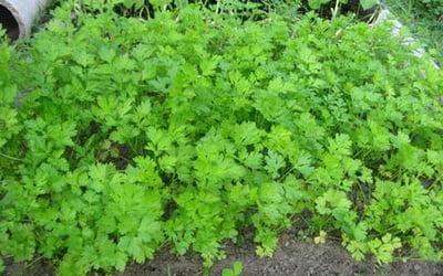 Сорт Богатырь хоть и считается листовым, подходит для выгонки ранней зелени