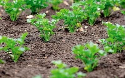 проращивание семян петрушки