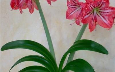 Комнатная лилия: уход в домашних условиях и классификация