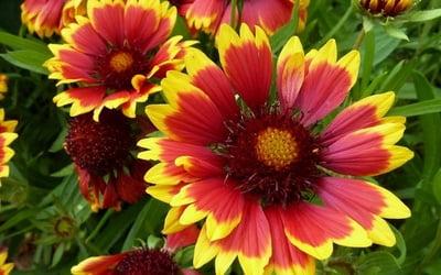 Садовые однолетние цветы