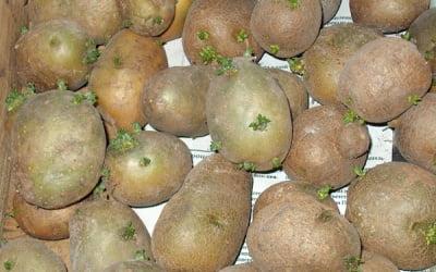 клубни раннего картофеля