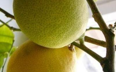 выращивание лимонов в квартире.