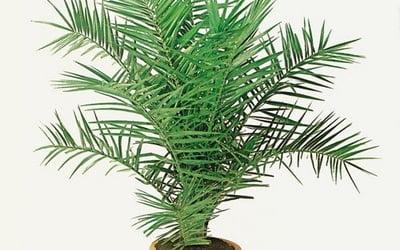 Денежное дерево какое удобрение