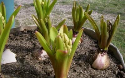 Начало цветения подготовленных к выгонке гиацинтов