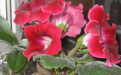 Глоксиния растение на подоконике