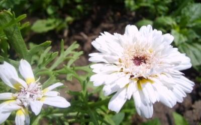 Махровые соцветия
