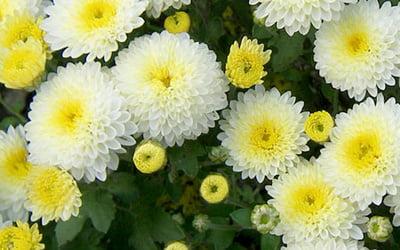 Многолетние хризантемы