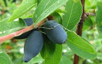 Вкусные ягоды жимолости