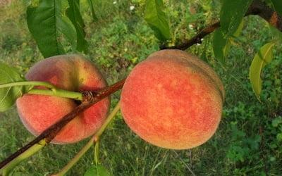 Мои персики