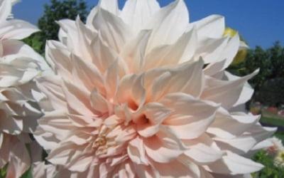 Георгина цветет