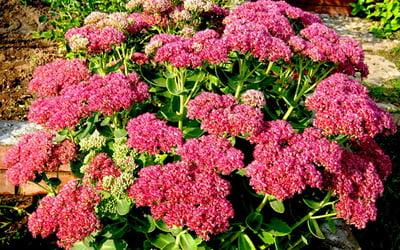 Цветы очиток и фото