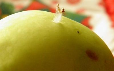 яблочная плодожорка