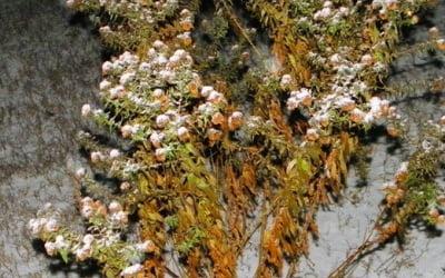 мелкая хризантема