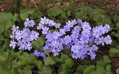 Печёночница цветок фото