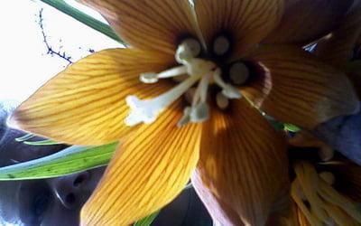 чашечка цветка лилии