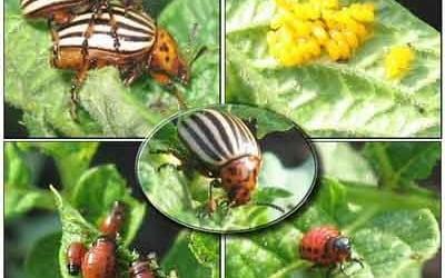 Как бороться с колорадским жуком...