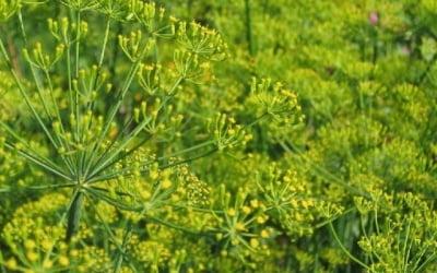 Укроп с цветками