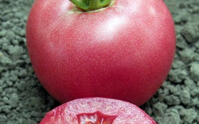 Как выращивать помидоры в открытом