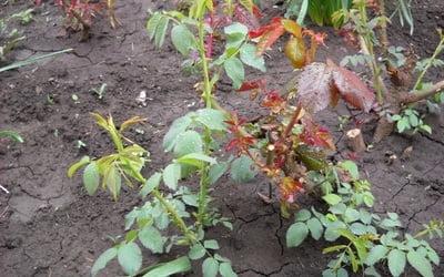 Выращивание шиповника на розы 13