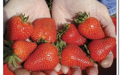 http://communitygardeners.ru/sites/default/files/imagecache/400x250/strawberries_012.jpg