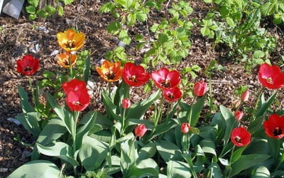 Чтобы тюльпаны цвели.